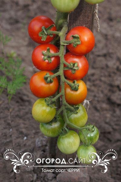 pomidor_cherry_3