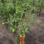 pomidor_cherry_4