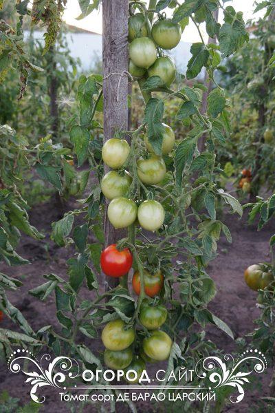 pomidor_de_barao_tsarskiy_1
