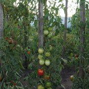 pomidor_de_barao_tsarskiy_2