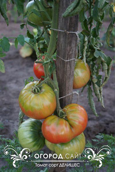 pomidor_delishes_1