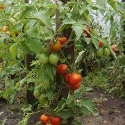 pomidor_detskiy_4