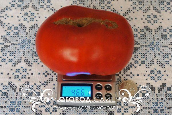 pomidor_dobry_molodets_1