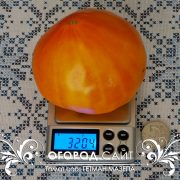 pomidor_getman_mazepa_1