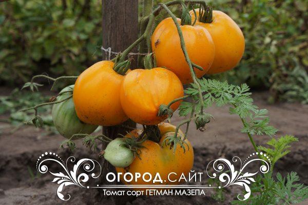 pomidor_getman_mazepa_3