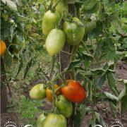 pomidor_gibrid_tarasenko_1_3