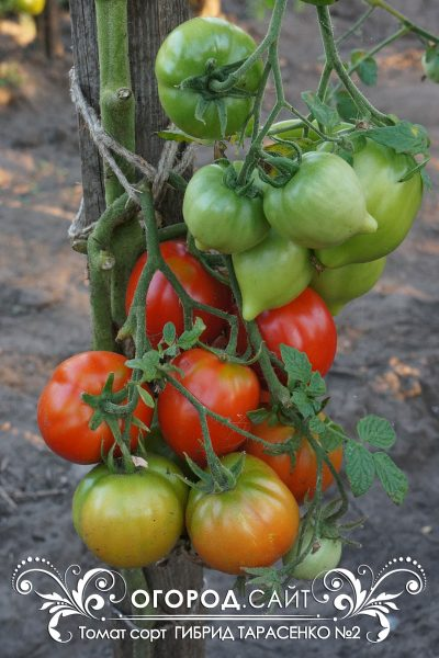 pomidor_gibrid_tarasenko_2_4