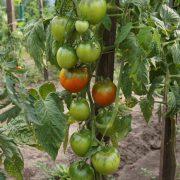 pomidor_gibrid_tarasenko_35_3