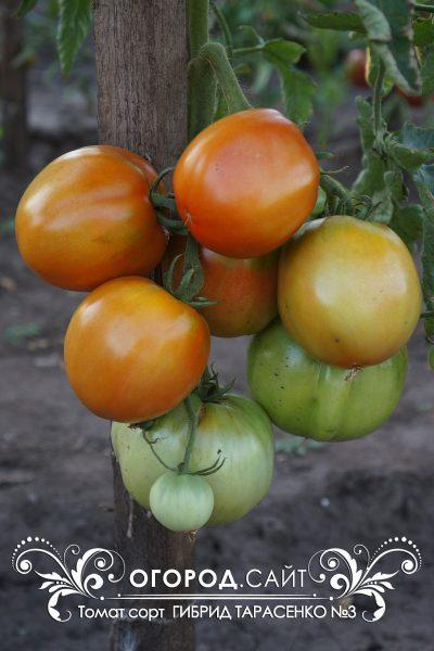 pomidor_gibrid_tarasenko_3_2