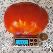 pomidor_gibrid_tarasenko_3_3