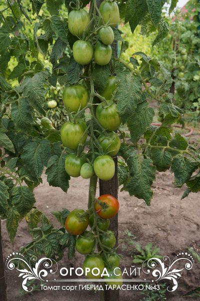 pomidor_gibrid_tarasenko_43_3