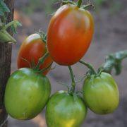 pomidor_gibrid_tarasenko_4_1