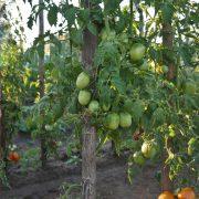 pomidor_gibrid_tarasenko_4_2