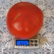 pomidor_gigant_maslova_3