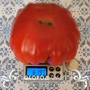 pomidor_gribnoe_lukoshko_2