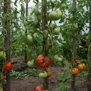 pomidor_gribnoe_lukoshko_6