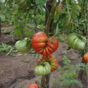 pomidor_gribnoe_lukoshko_7