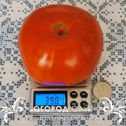 канадский великан сорт томата