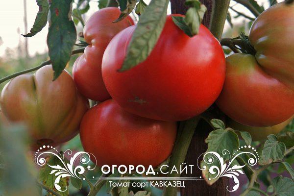 pomidor_kavkazets_1