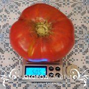 pomidor_kavkazets_2