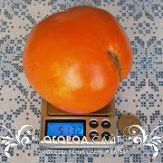 pomidor_kenigsberg_zhelty_3