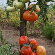pomidor_koroleva_rynka_3