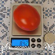 pomidor_novinka_pridnestrovya_1