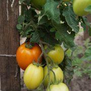 pomidor_novinka_pridnestrovya_3