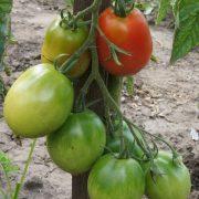 pomidor_tarasenko_rozovy_2_3