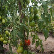 pomidor_tarasenko_rozovy_2_4
