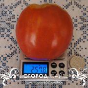 pomidor_vosmerka_1