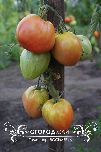 pomidor_vosmerka_4
