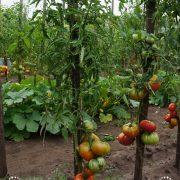 pomidor_vova_putin_5
