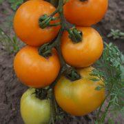 pomidor_zhelty_apelsin_1