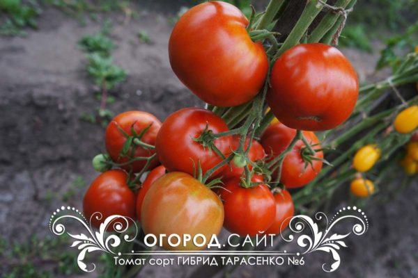 Гибрид Тарасенко №6