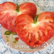 Вкусные томаты Лотарингская красавица