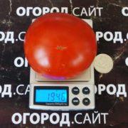 помидоры северная королева