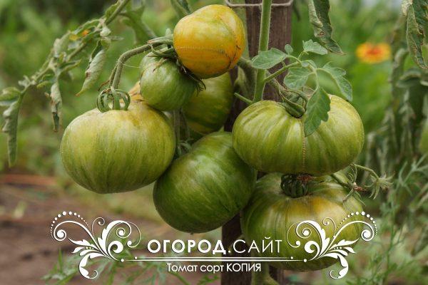 pomidor_copia_1