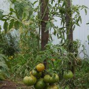 pomidor_copia_4