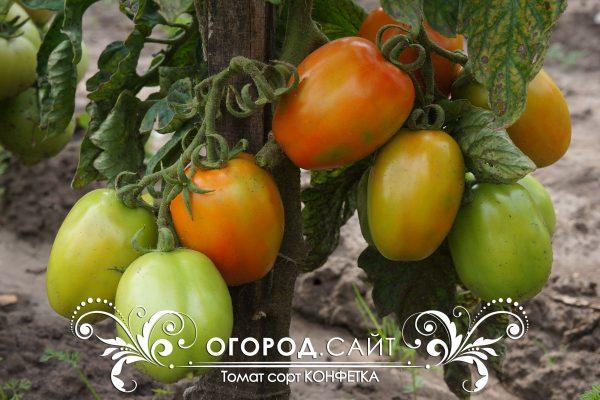 pomidor_konfetka_4