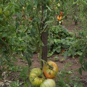 pomidor_korneevskiy_rozovy_3