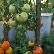 pomidor_korol_rannih_4