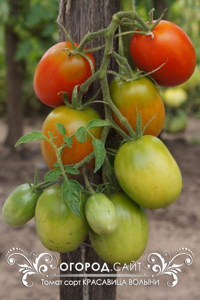 pomidor_krasavitsa_volyni_3