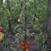 pomidor_krasavitsa_volyni_4