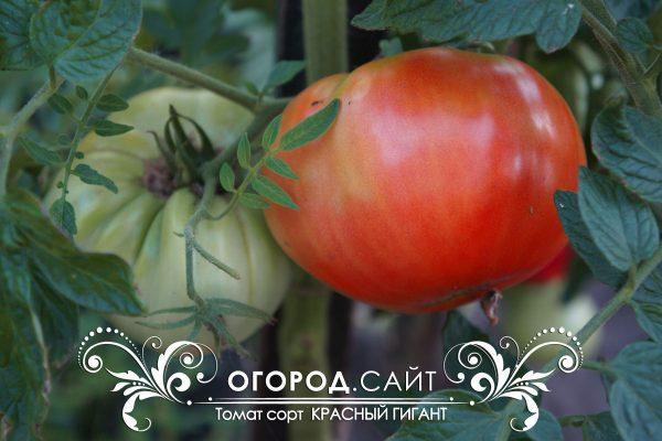 pomidor_krasny_gigant_1