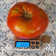 pomidor_krasny_gigant_3