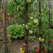 pomidor_krasny_lizin_5