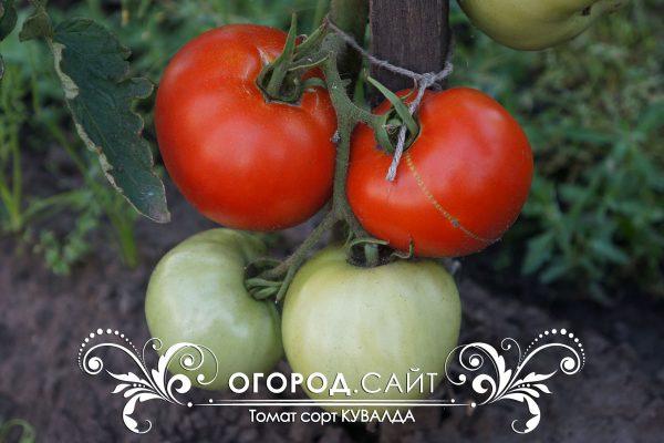 pomidor_kuvalda_1