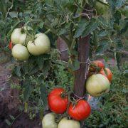 pomidor_kuvalda_4