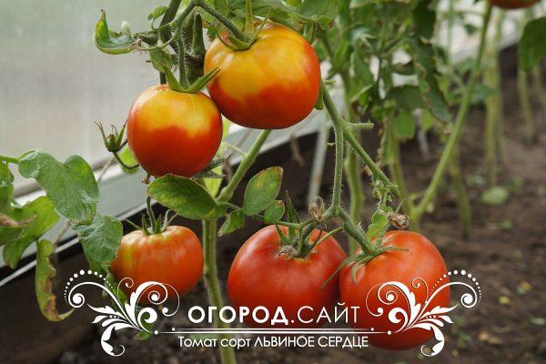 pomidor_lvinoe_serdtse_1